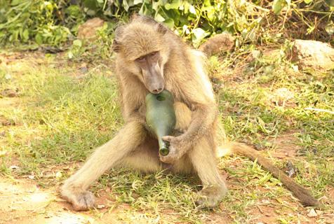 """津巴布韦""""酒鬼""""狒狒抱空瓶子不撒手"""