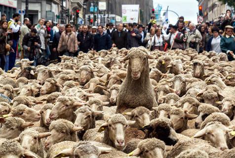 """马德里庆""""牲畜迁移节"""" 羊群进城观光"""
