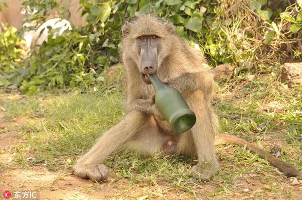"""非洲狒狒""""酗酒"""" 紧抱啤酒瓶舔了又舔"""
