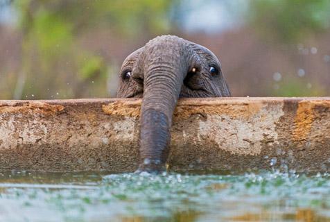 """""""矮冬瓜""""小象池边喝水 模样滑稽"""