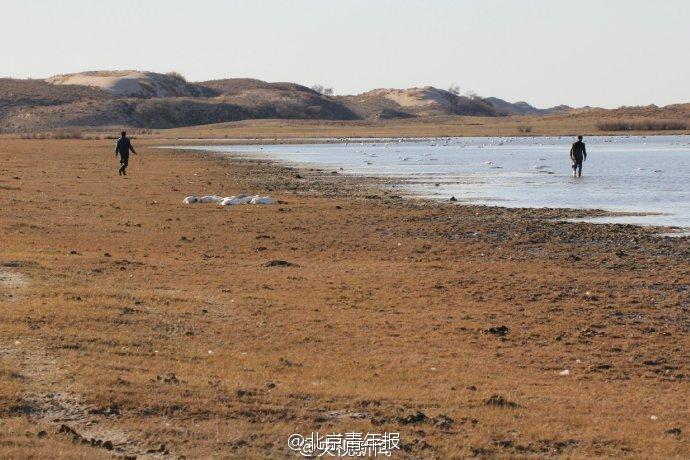 内蒙古死亡候鸟系中毒死亡 系人为偷猎投药