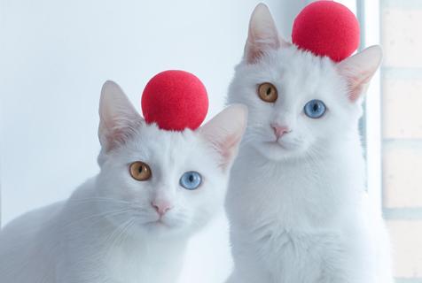 俄双生猫咪眼睛如宝石 充满贵族气质