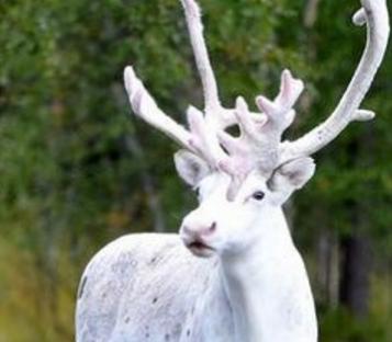 极罕见纯白色驯鹿
