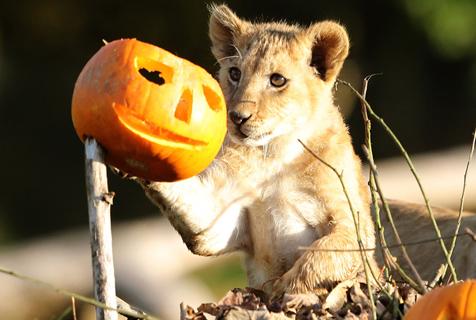 万圣节将至 英动物园狮子收获南瓜餐