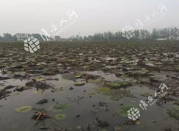 安徽两千多亩高价作物异常减产 官方称原因难查