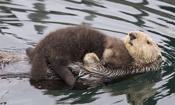 水獭宝宝躺妈妈肚上撒娇 萌坏网友