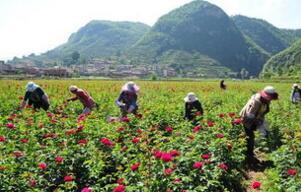 斋堂镇产业结构转型 打造千亩优质玫瑰种植产业