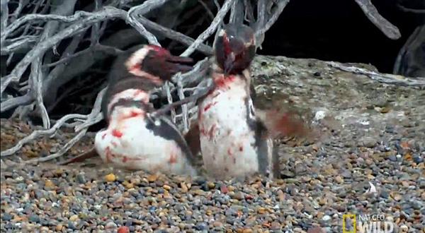 企鹅丈夫归巢痛殴母企鹅新欢终难挽芳心