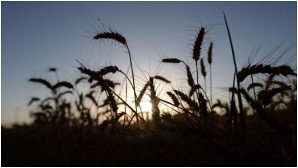 英国科学家向英政府申请试种转基因小麦