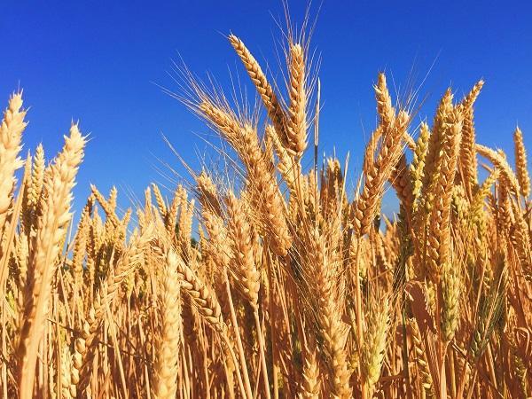 英研究机构计划开展转基因小麦种植试验