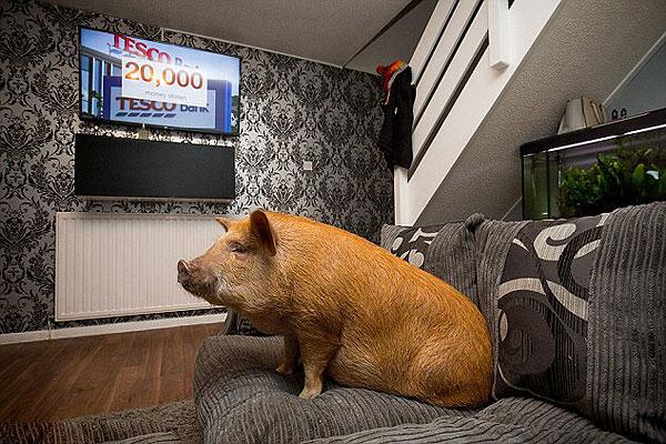 英迷你宠物猪成网红 沉迷看电视剧