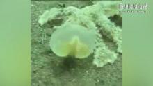 太神奇了!潜水员拍下十三只脚吸盘外星鱼