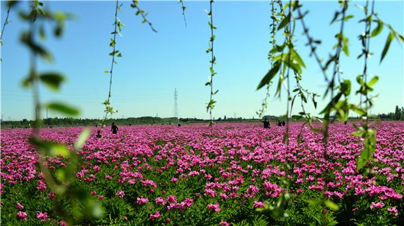 北泉镇特色产业之葡萄与花卉