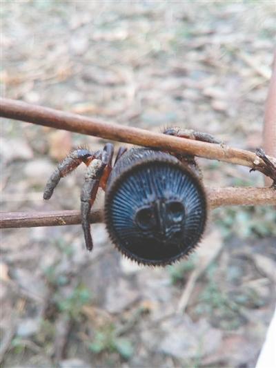 四川一村民发现罕见蜘蛛 打算拿到市场上卖掉