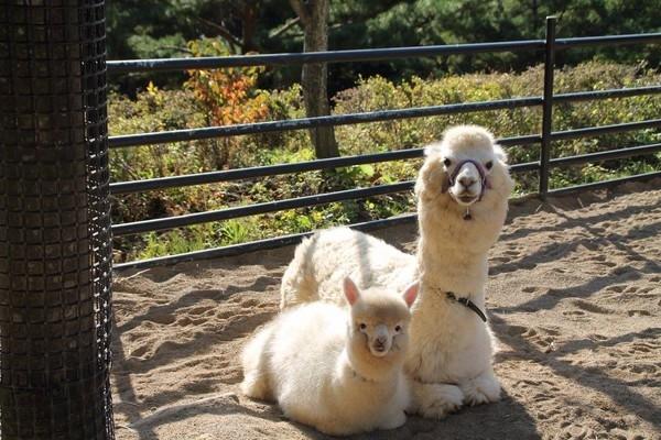 小羊驼与妈妈合影神同步:萌哭网友了