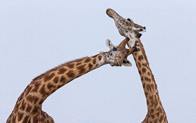 据英国《每日邮报》11月23日报道,近日,一名野生动物摄影师在非洲