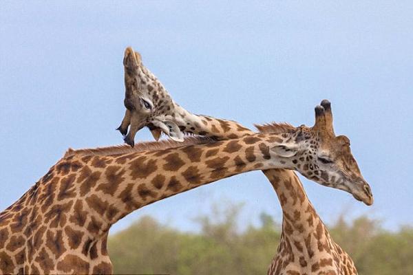 """非洲长颈鹿上演""""脖""""斗场面滑稽可爱"""
