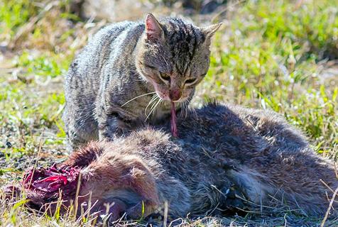 """澳野牲畜""""横行霸道""""威胁生态环境"""