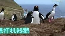 每日一笑:企鹅发现老公撩鹅怒打机器鹅