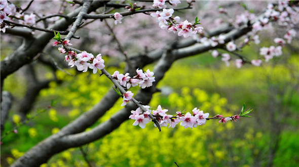 万亩绿色桃园森林的奇迹--竹镇桃花岛