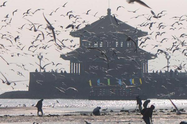 青岛栈桥进入最佳期观鸟期 万鸥齐飞遮天蔽日