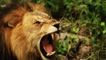 马戏表演出意外 发情狮子猛扑驯兽师将其咬死