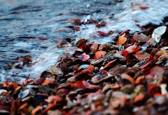 青岛形成罕见贝壳滩