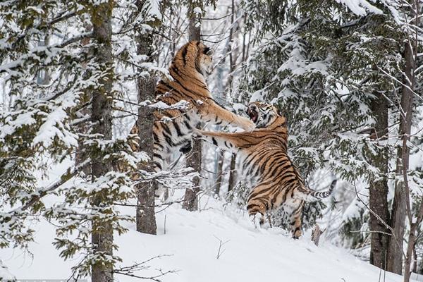 东北虎为争夺配偶和领地冰天雪地里搏斗