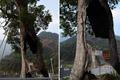"""江西婺源:300岁""""空心""""树 被称为""""树坚强"""""""