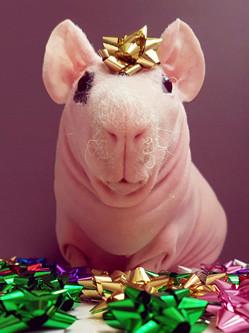 无毛豚鼠圣诞写真大眼呆萌惹人爱