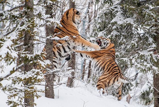 瑞典两雄性老虎为争伴侣雪地激烈争斗