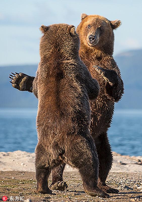 干了这碗狗粮!俄罗斯棕熊水中亲吻搂抱大秀恩爱
