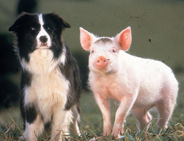 英牧羊犬离世 好友猪宝宝哀痛令人动容