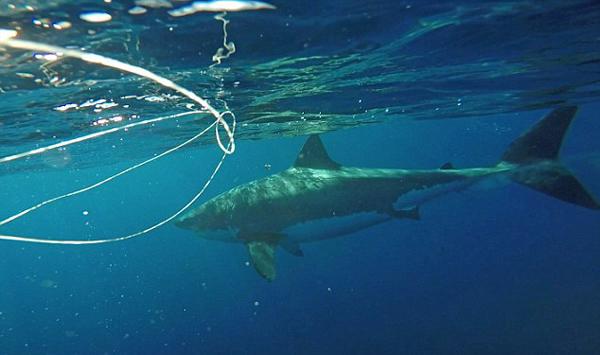 美海岸一鲨鱼意外被挂船身获垂钓者解困