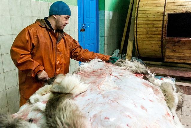探访俄罗斯极寒之地:土著民生吃驯鹿