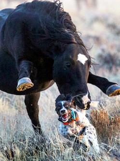 狗狗遭野马狂追 全程吓傻连滚带爬
