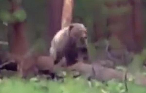 俄猎人遭棕熊袭击被迫将其枪杀引热议