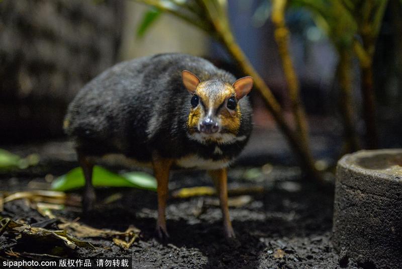 英本土出生鼠鹿 为世界最小有蹄类动物