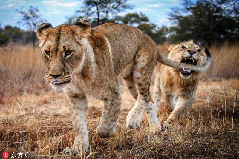 淘气!非洲狮子打架后竟咬住同伴尾巴