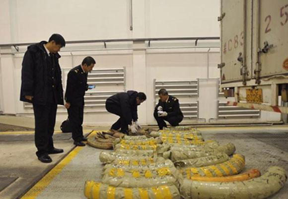 黑龙江查获540公斤象牙原料 预估约40万人民币