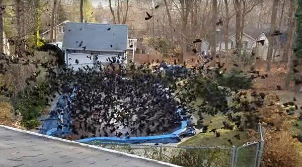 英郊区房屋后院游泳池密布乌鸦 场面诡异惊人