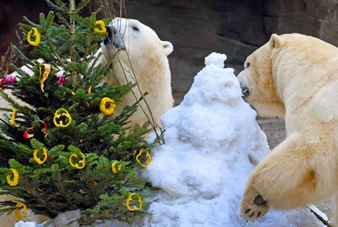 德动物园发圣诞礼 北极熊超爱圣诞树