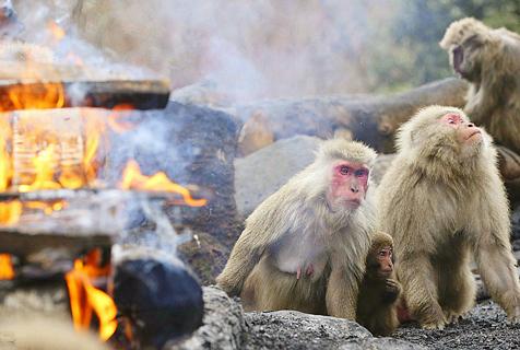 """日本猴子开""""篝火派对"""" 火堆边取暖"""