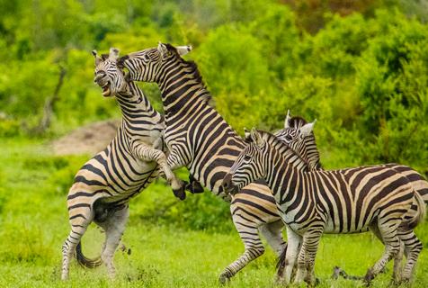 南非斑马为夺权互殴 狠咬毫不嘴软