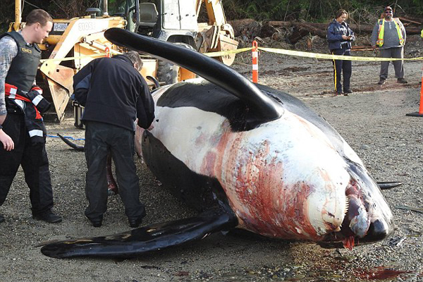 一濒危虎鲸尸体在加拿大被打捞上岸