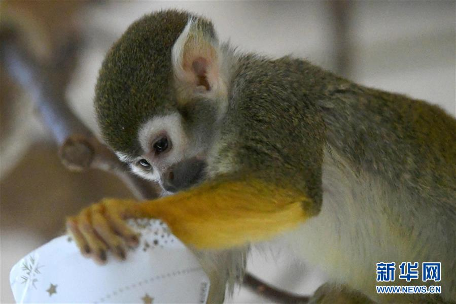 松鼠猴的圣诞礼物