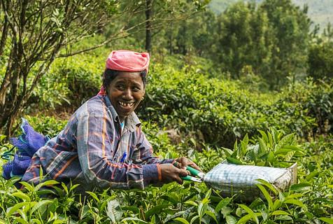 印度茶庄工人生活:日出而作日落而息