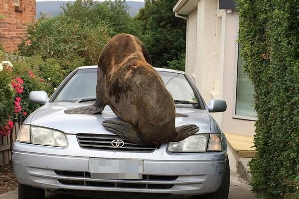 澳海豹节礼日横冲直撞 吓得居民不敢出门