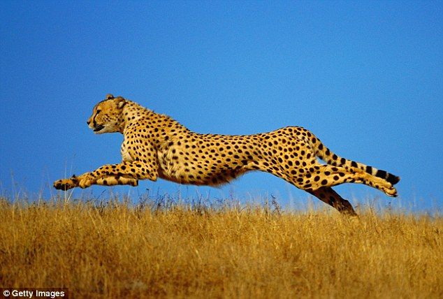 濒临灭绝:稀有陆生猎豹锐减至7000头 - 梅思特 - 你拥有很多,而我,只有你。。。