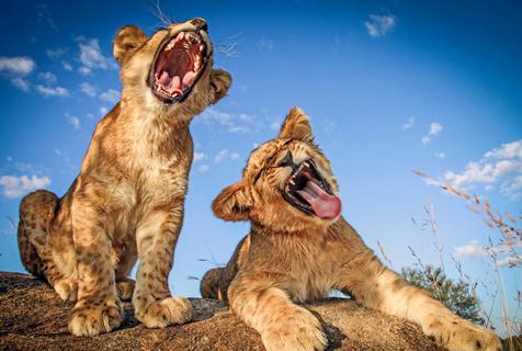 """摄影师拍两狮子演绎""""走心""""合唱"""
